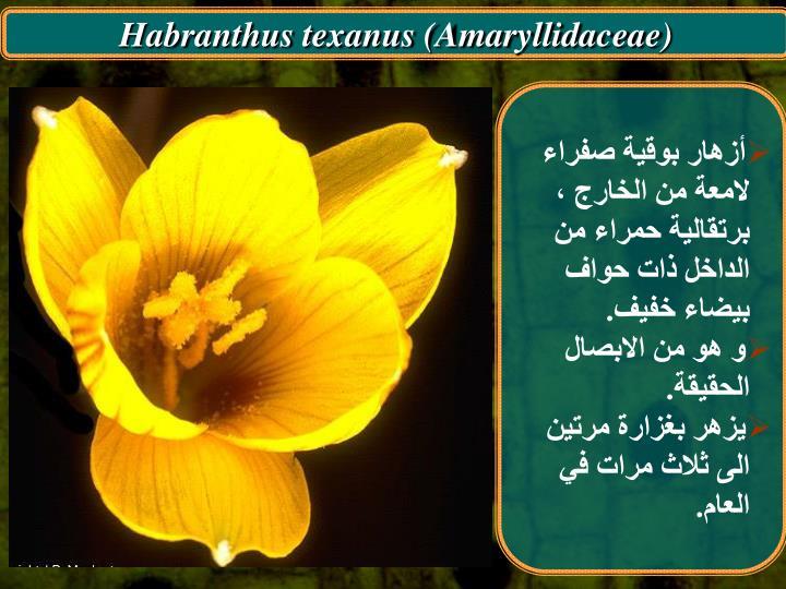 Habranthus texanus (Amaryllidaceae)