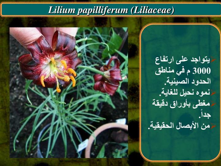 Lilium papilliferum (Liliaceae)