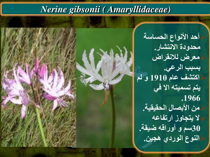 Nerine gibsonii ( Amaryllidaceae)