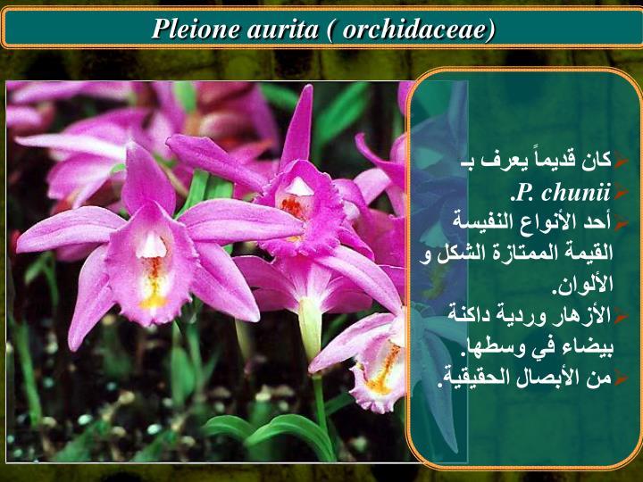 Pleione aurita ( orchidaceae)
