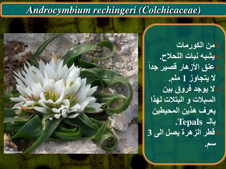 Androcymbium rechingeri (Colchicaceae)