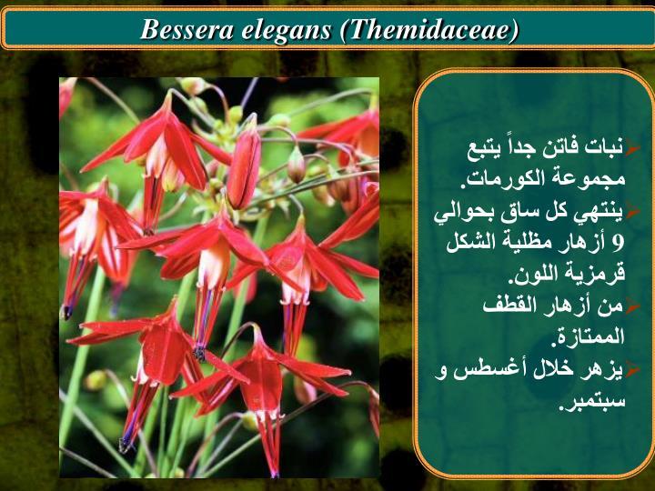 Bessera elegans (Themidaceae)