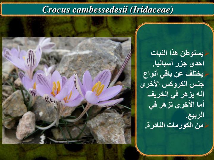 Crocus cambessedesii (Iridaceae)