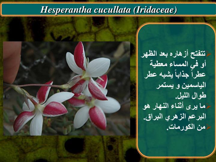 Hesperantha cucullata (Iridaceae)