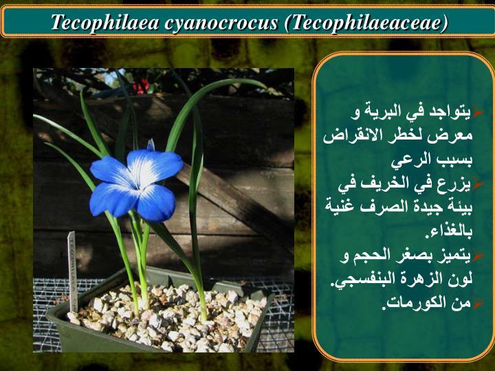 Tecophilaea cyanocrocus (Tecophilaeaceae)