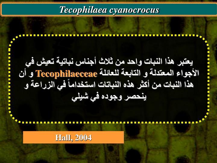 Tecophilaea cyanocrocus