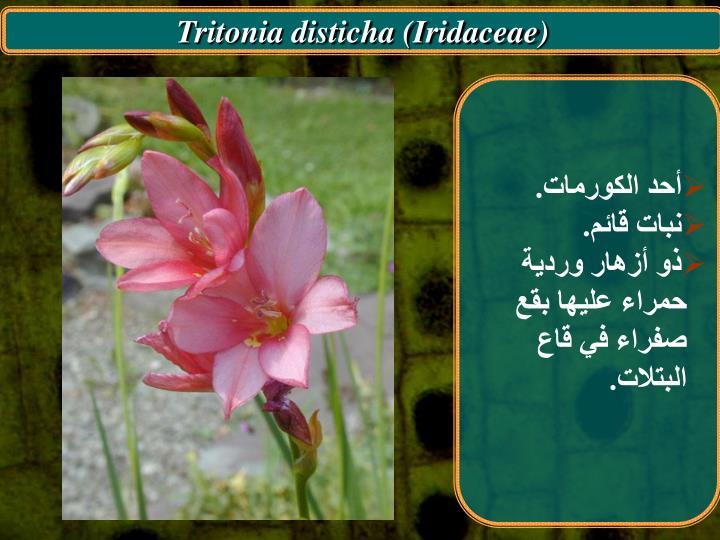 Tritonia disticha (Iridaceae)