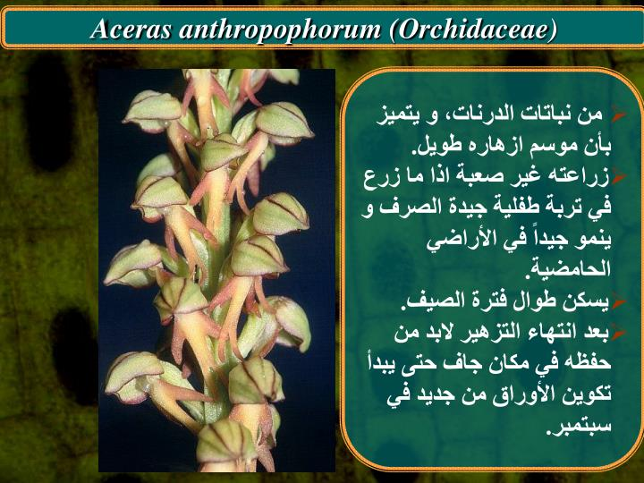 Aceras anthropophorum (Orchidaceae)