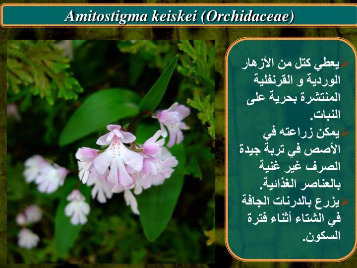 Amitostigma keiskei (Orchidaceae)