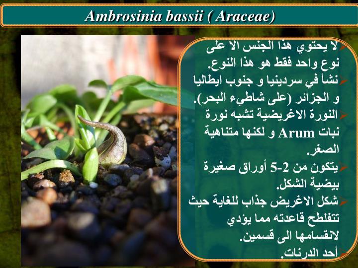 Ambrosinia bassii ( Araceae)
