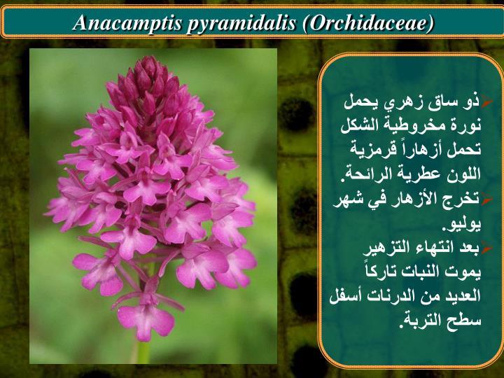 Anacamptis pyramidalis (Orchidaceae)