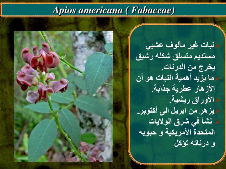 Apios americana ( Fabaceae)
