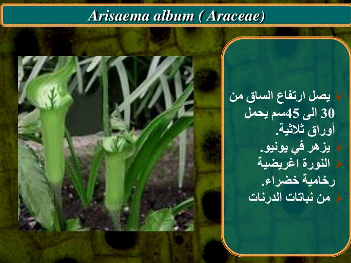 Arisaema album ( Araceae)