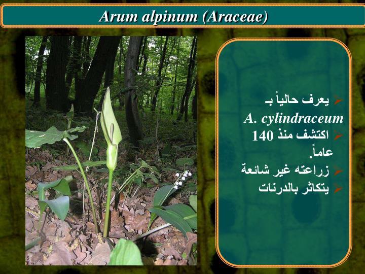 Arum alpinum (Araceae)