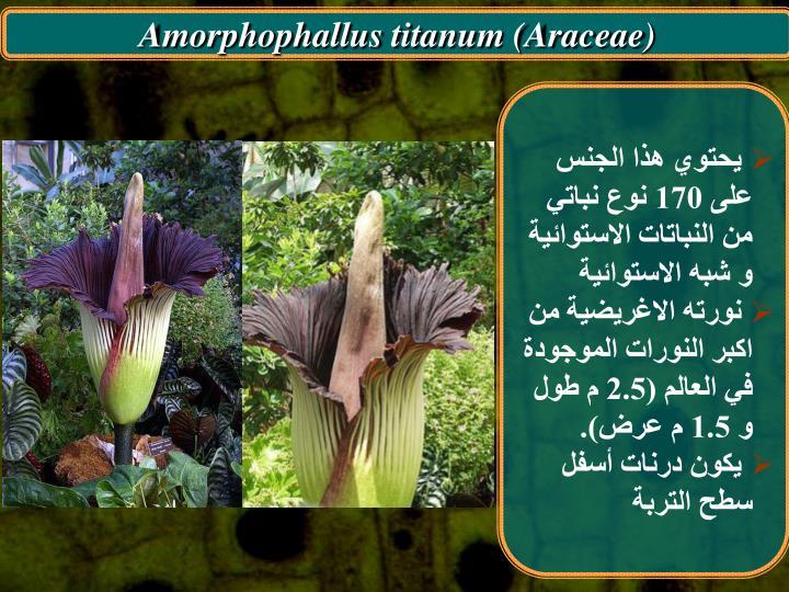 Amorphophallus titanum (Araceae)