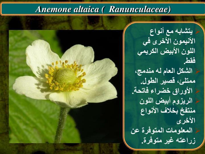 Anemone altaica (  Ranunculaceae)