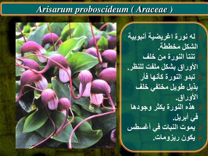Arisarum proboscideum ( Araceae )