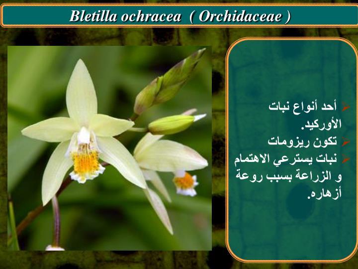 Bletilla ochracea  ( Orchidaceae )