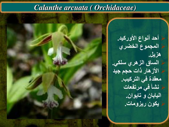 Calanthe arcuata ( Orchidaceae)