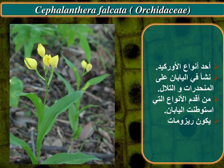 Cephalanthera falcata ( Orchidaceae)