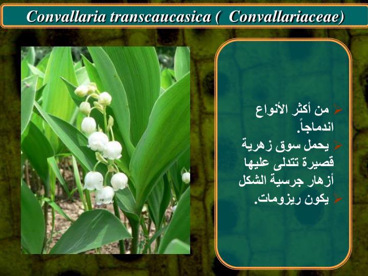 Convallaria transcaucasica (  Convallariaceae)