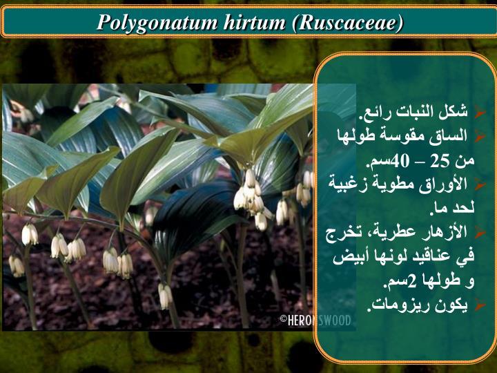 Polygonatum hirtum (Ruscaceae)