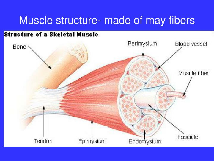 Muscle structure- made of may fibers