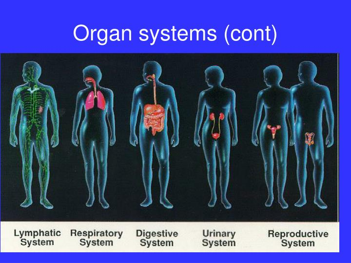 Organ systems (cont)