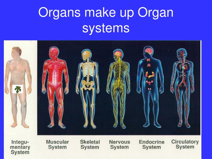 Organs make up Organ systems