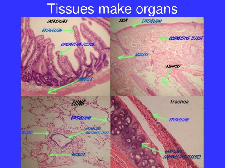Tissues make organs