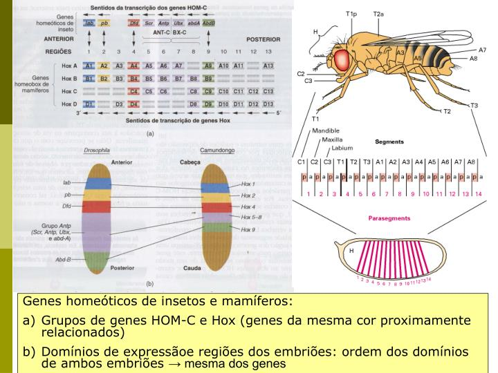 Genes homeóticos de insetos e mamíferos: