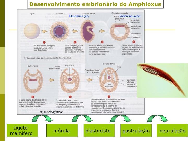 Desenvolvimento embrionário do Amphioxus