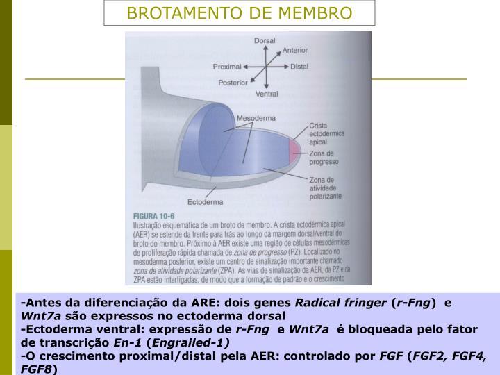 BROTAMENTO DE MEMBRO