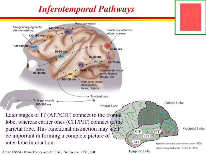 Inferotemporal Pathways