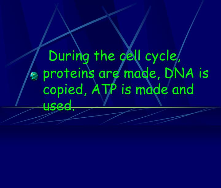 During the cell cycle, proteins are made, DNA is copied, ATP is made and used.