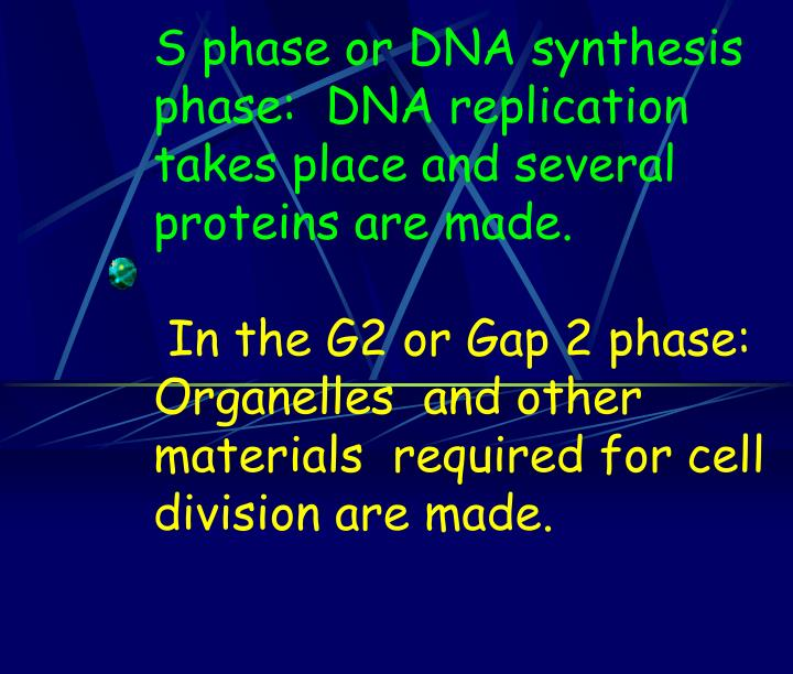 S phase or DNA synthesis phase:  DNA replication takes place and several proteins are made.