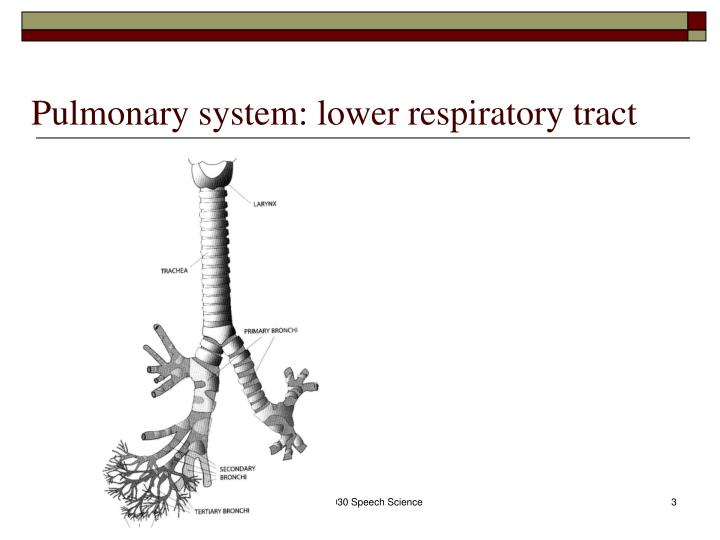 Pulmonary system lower respiratory tract