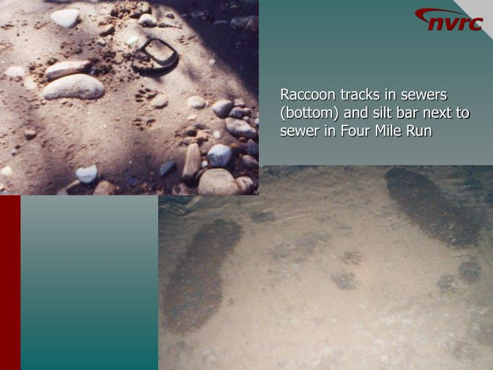 Raccoon tracks in sewers (bottom) and silt bar next to sewer in Four Mile Run