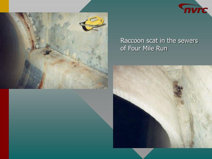 Raccoon scat in the sewers of Four Mile Run