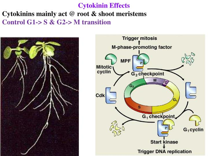 Cytokinin Effects