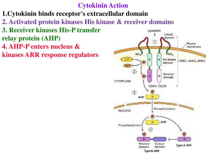 Cytokinin Action