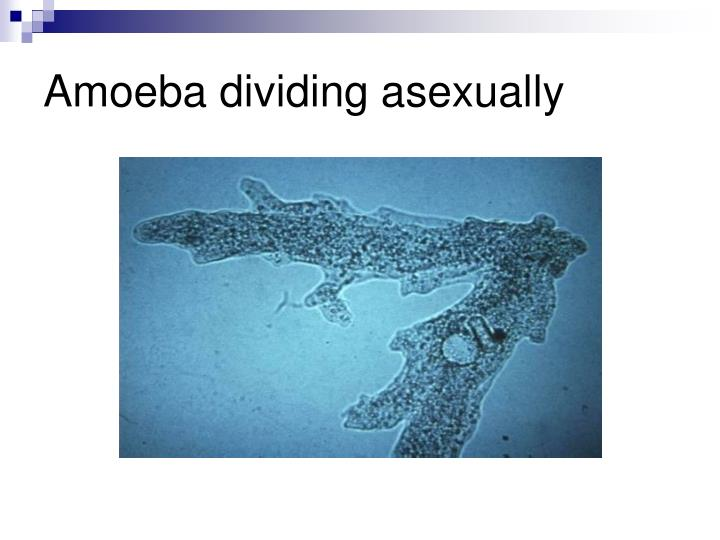 Amoeba dividing asexually