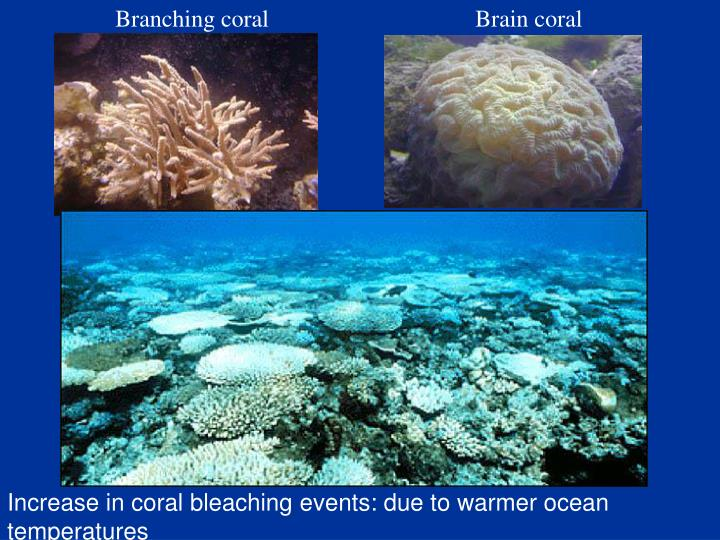 Branching coral