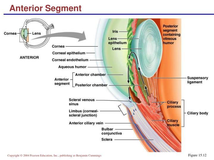 Anterior Segment