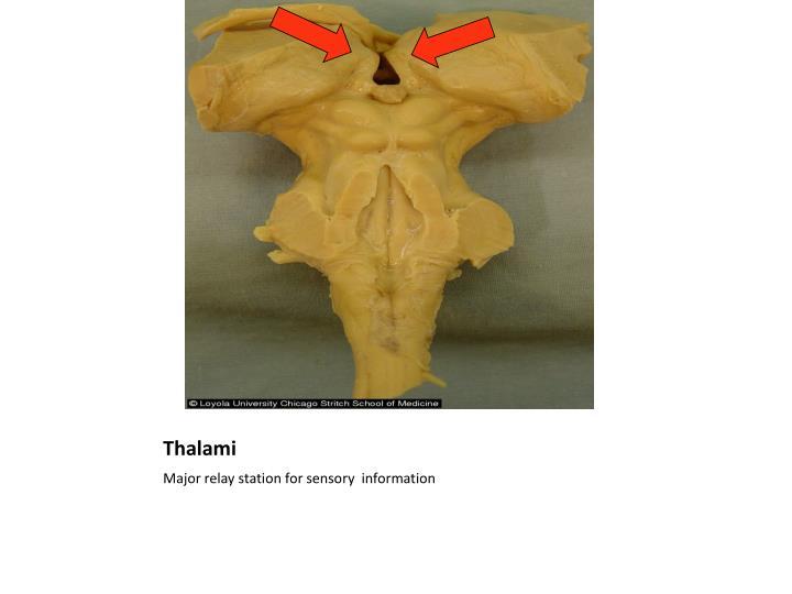 Thalami