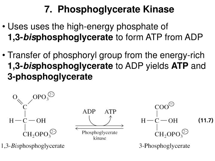 7.  Phosphoglycerate Kinase