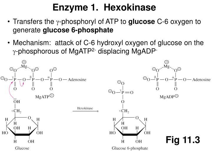 Enzyme 1.  Hexokinase