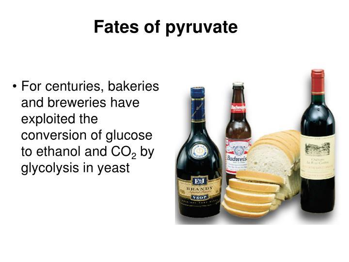 Fates of pyruvate