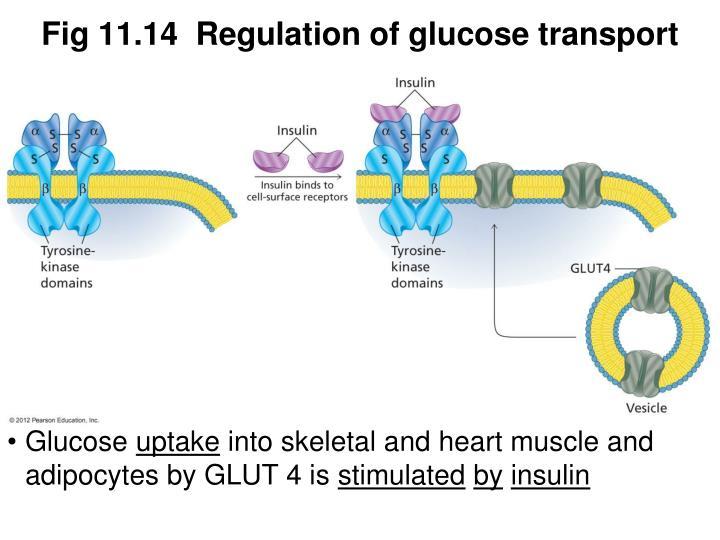 Fig 11.14  Regulation of glucose transport
