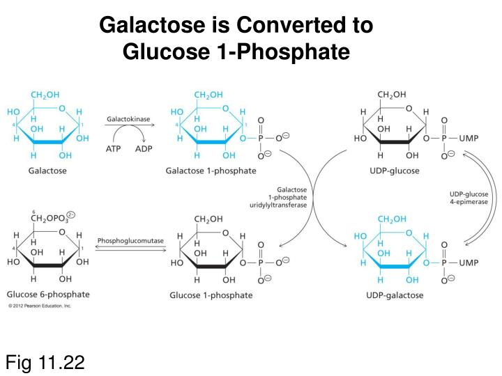 Galactose is Converted to